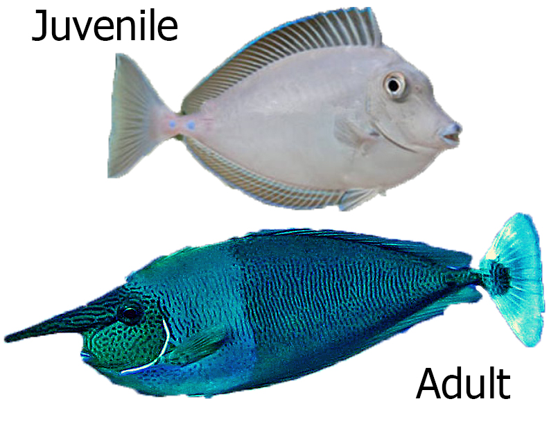 Blue Unicornfish