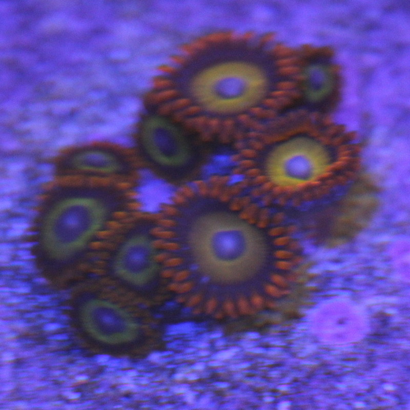 Zoanthid, Fruit Loops - Aquacultured