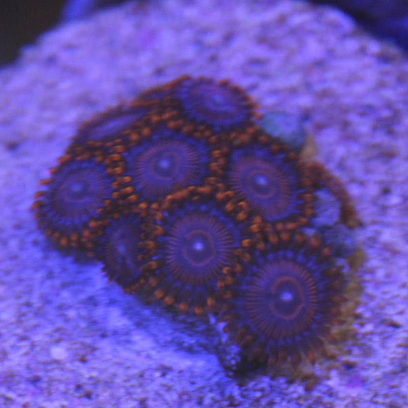 Zoanthid, Twizzlers - Aquacultured