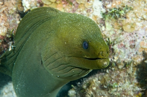 Green Moray - Approx. 30