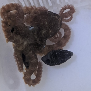 Pacific Brown Octopus