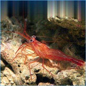 Peppermint Shrimp - 12, Shipped