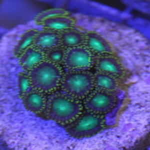 Zoanthid, Radioactive Dragon Eyes - Aquacultured