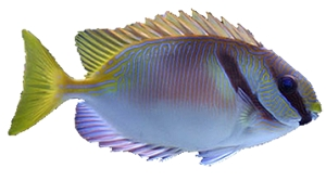 Scribbled Rabbitfish
