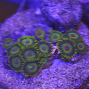 Zoanthid, Rasta - Aquacultured