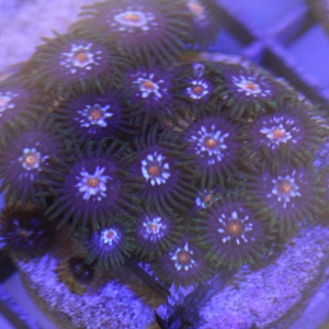 Zoanthid, Stargazer - Aquacultured