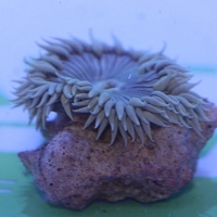 Rock Anemone (Common Color)
