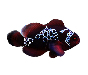 Lightning Maroon Clown - Captive Bred