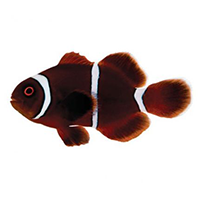 Maroon Clown (Gold Stripe)