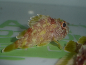 Yellow Spotted Scorpionfish