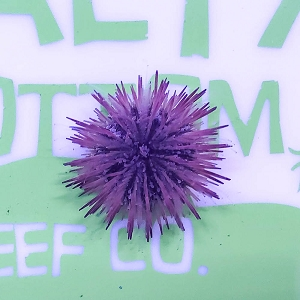 Pincushion Urchin