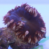 Rock Anemone (Red Color)