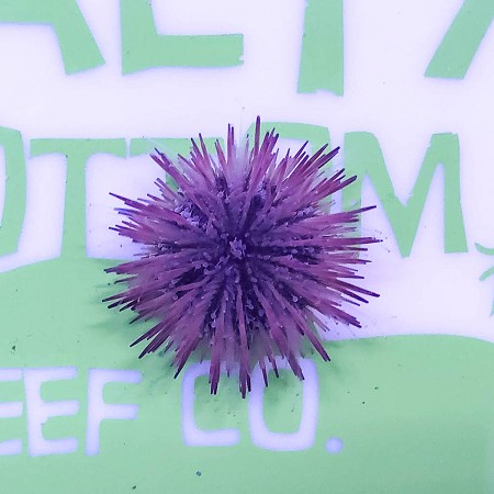 Pincushion Urchin Image