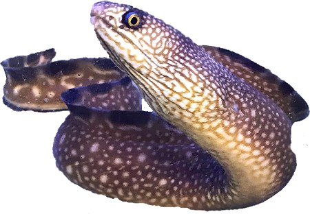 Black Edge Moray Eel